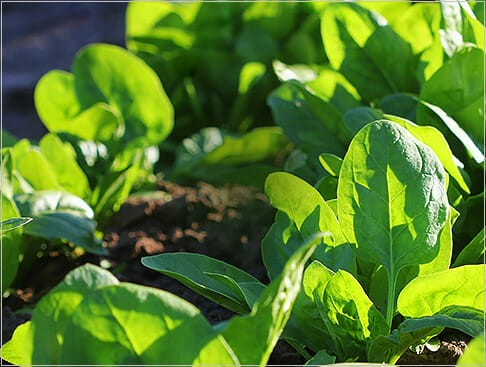 Restek – Fast, direct analysis of polar pesticides in spinach